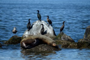 california-sealion-cormorants